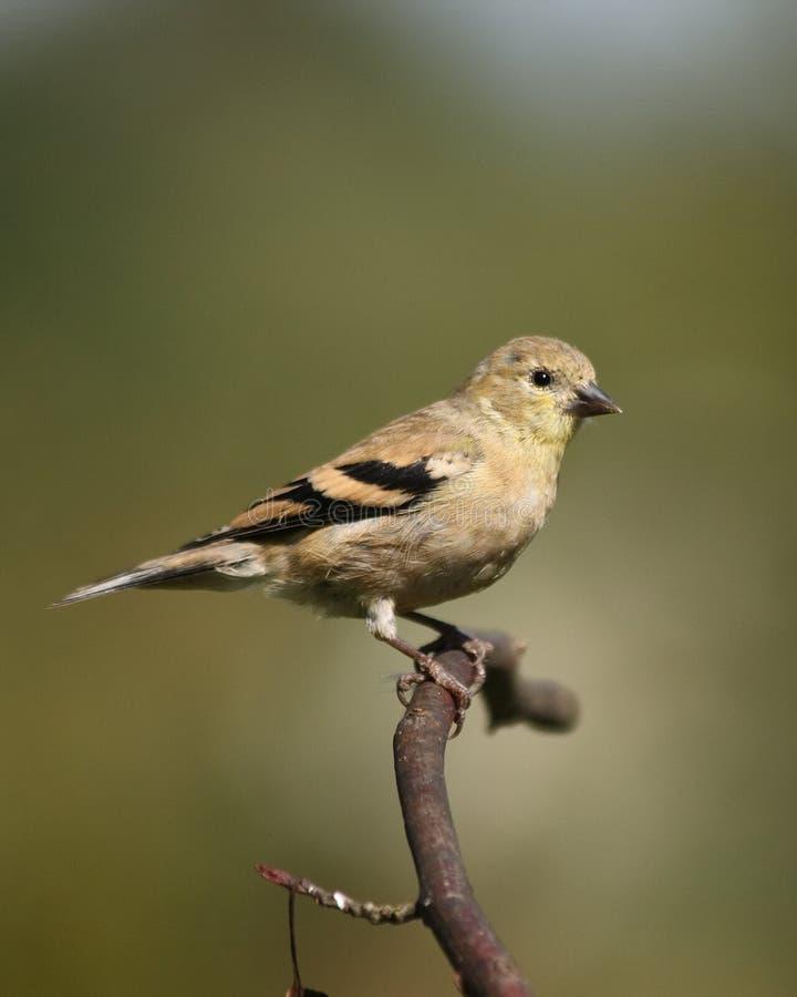Goldfinch americano femenino foto de archivo
