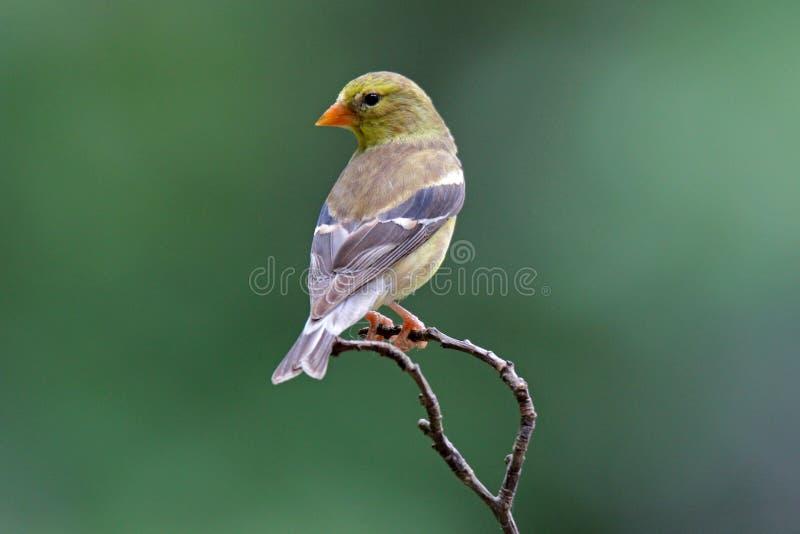 Goldfinch americano femenino imágenes de archivo libres de regalías