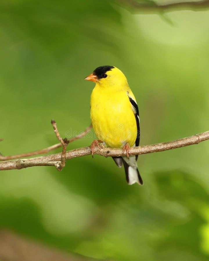 Goldfinch americano masculino imagen de archivo libre de regalías