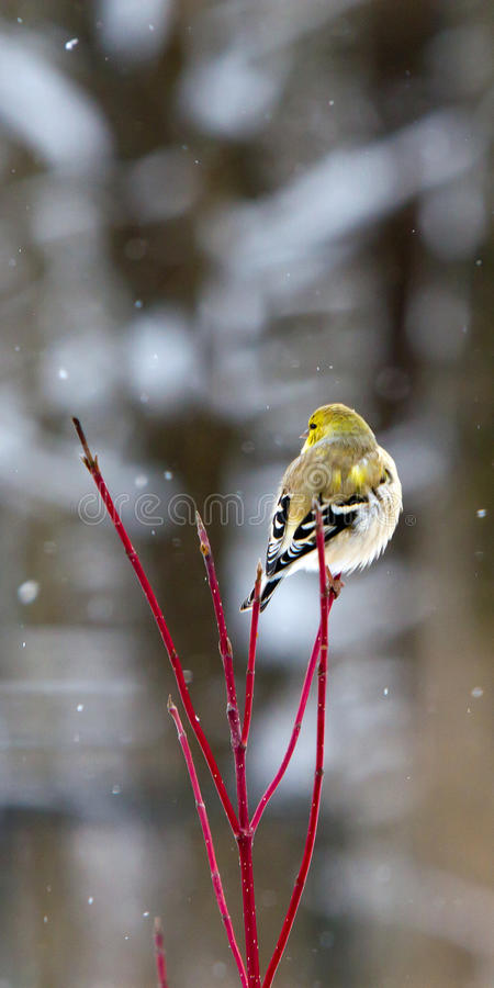 Goldfinch americano no inverno fotos de stock royalty free