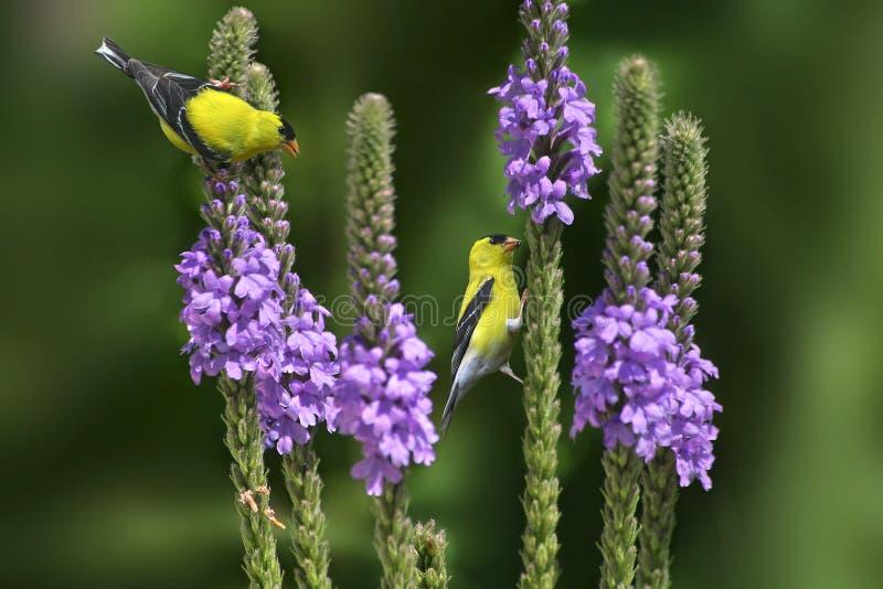 Goldfinch americano sui fiori fotografia stock libera da diritti
