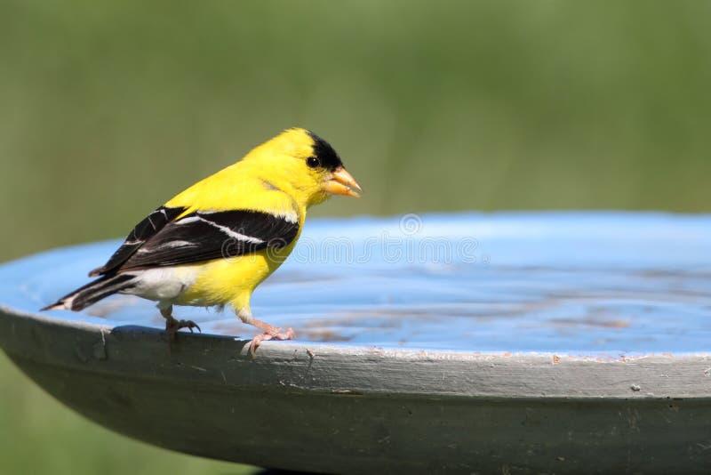 Goldfinch americano (tristis del Carduelis) imágenes de archivo libres de regalías