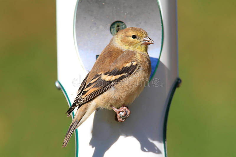 Download Goldfinch Americano (tristis Do Carduelis) Imagem de Stock - Imagem de ornithology, songbird: 16862753