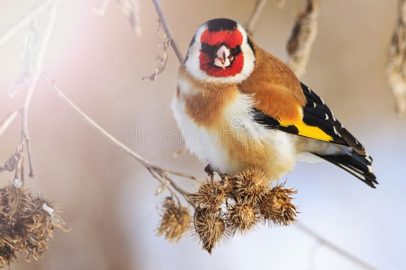 Goldfinch bird with a red mask. Wildlife, winter survival, cold and frost stock images