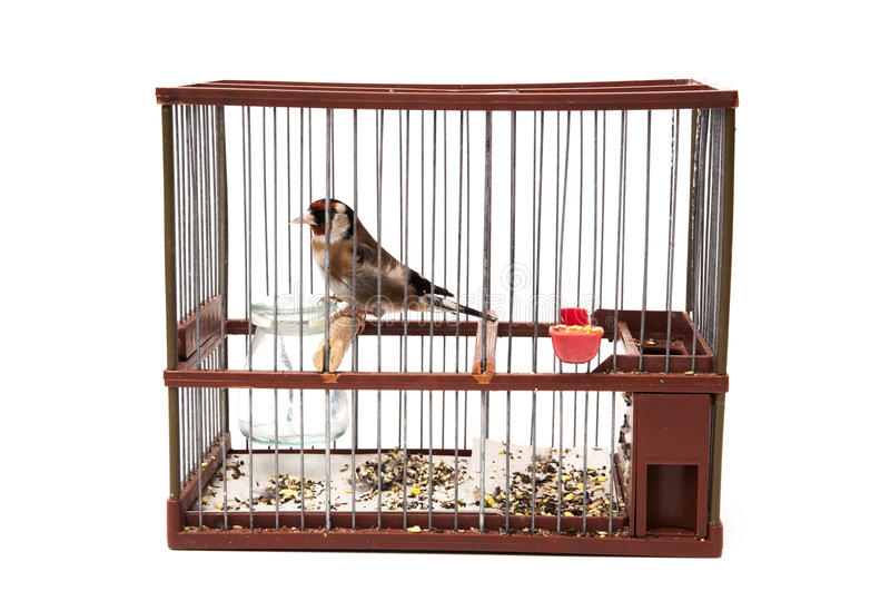 Download Goldfinch in a cage stock image. Image of plumage, branch - 39503161