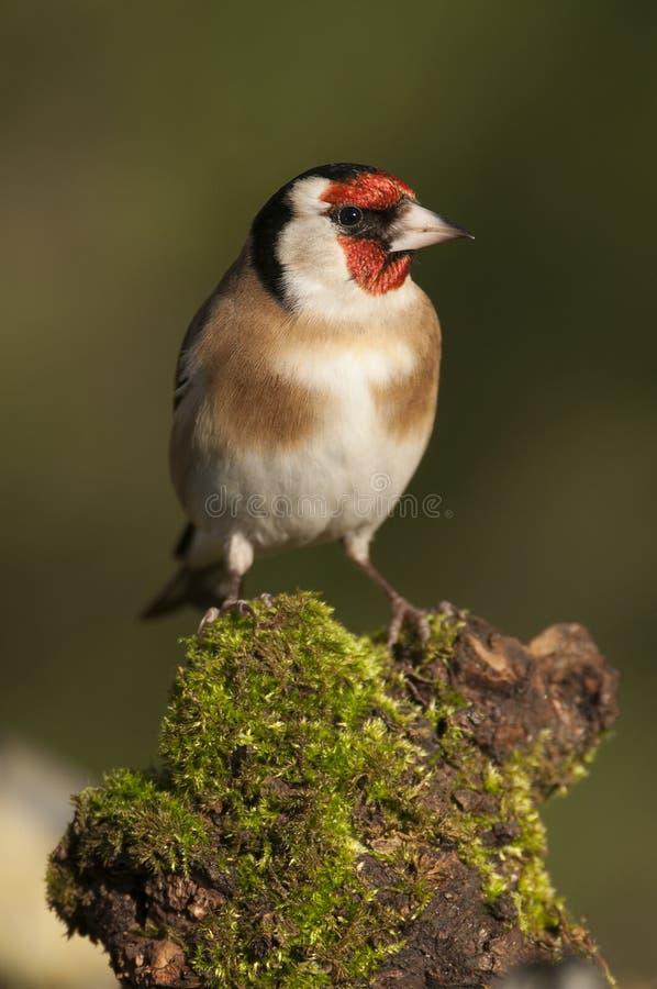 Goldfinch - carduelis Carduelis, που ψάχνουν τα τρόφιμα, το φτέρωμα και τα χρώματα στοκ φωτογραφίες με δικαίωμα ελεύθερης χρήσης