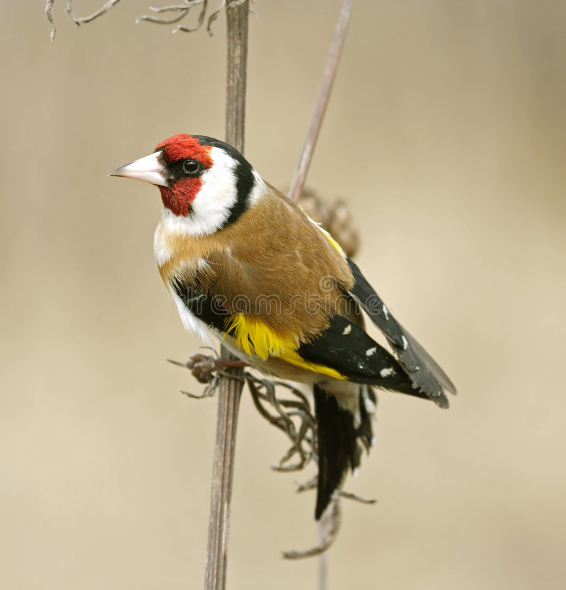 Download Goldfinch ( Carduelis ) stock photo. Image of beak, carduelis - 4156168