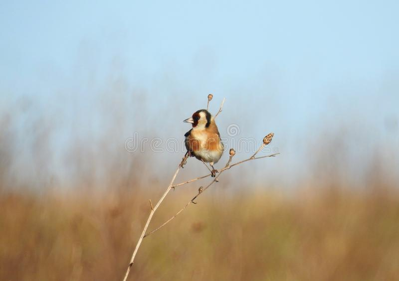 Goldfinch / Carduelis Carduelis bird balancing on a winter twig in a sunny field royalty free stock image
