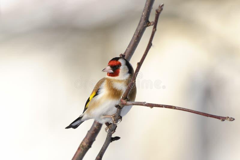 Goldfinch, Carduelis Carduelis stockfoto