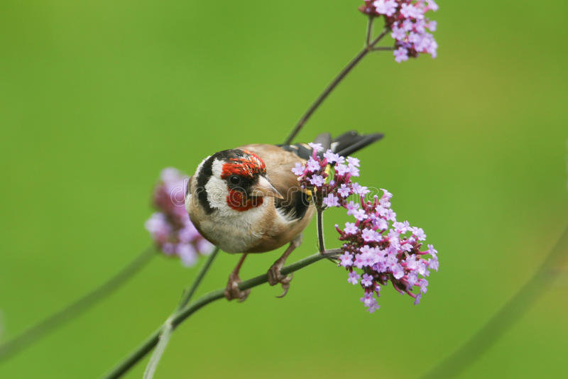 A beautiful Goldfinch Carduelis carduelis perched on a flower. stock photos