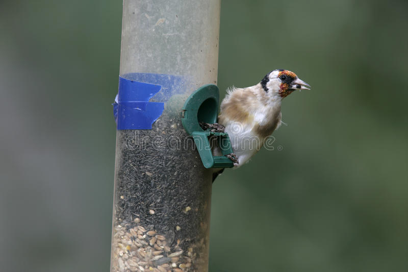 Goldfinch,Carduelis Carduelis Stock Images