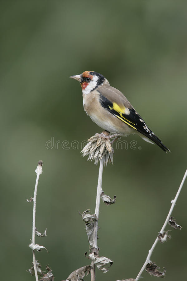 Download Goldfinch,Carduelis Carduelis Stock Image - Image: 36206715