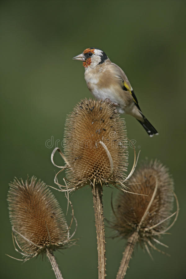 Download Goldfinch,Carduelis Carduelis Stock Photo - Image: 36206674