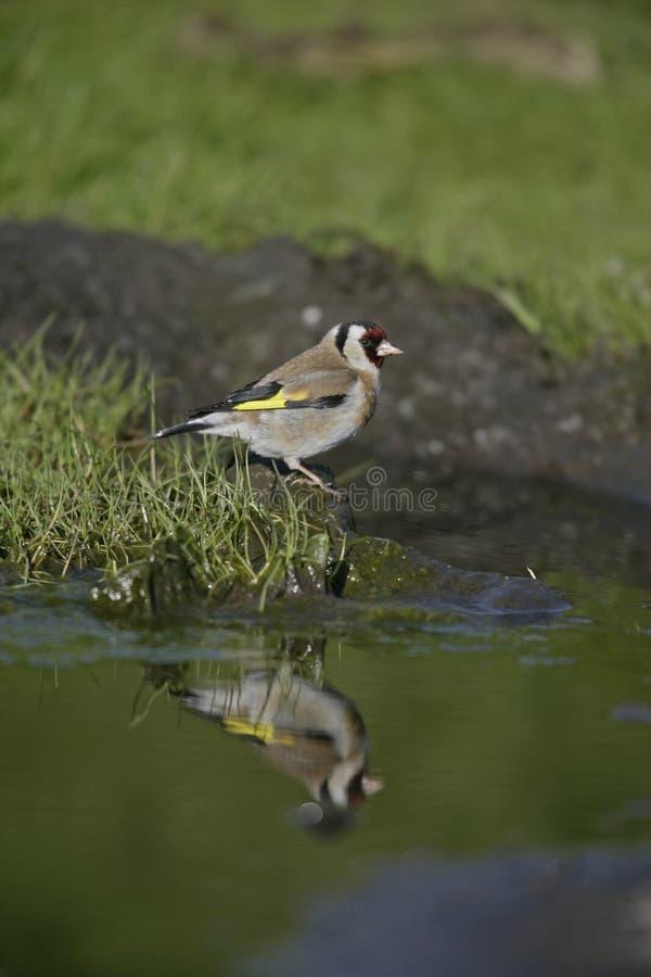 Download Goldfinch,Carduelis Carduelis Stock Image - Image of garden, hedge: 36206741