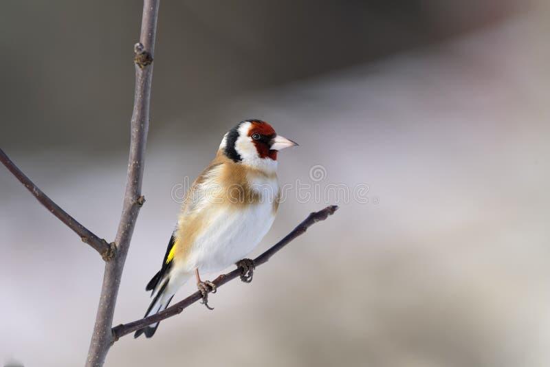 Goldfinch, carduelis del carduelis foto de archivo libre de regalías
