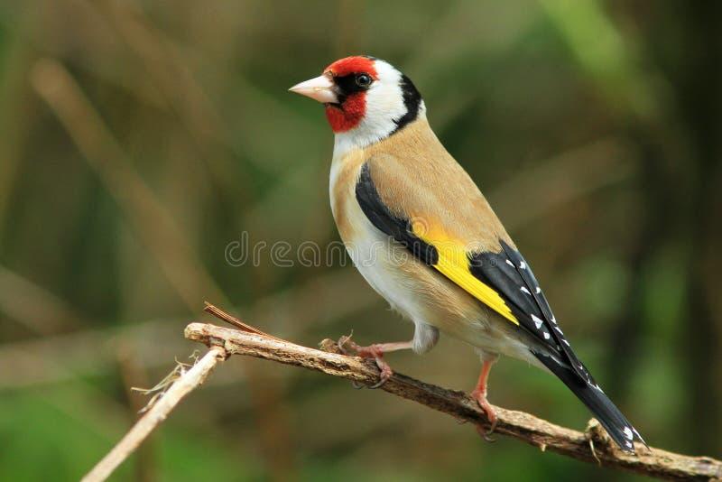 Goldfinch (carduelis do Carduelis) imagem de stock