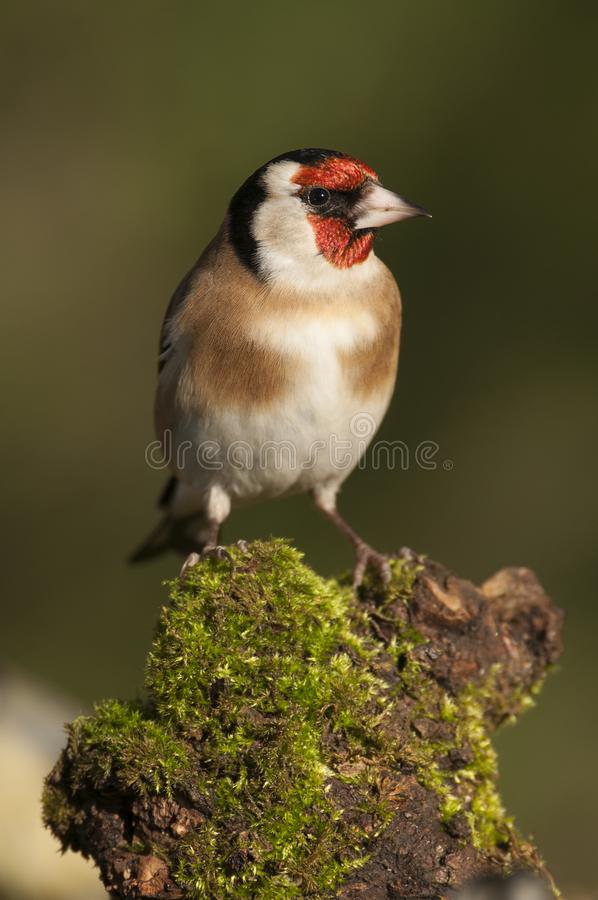 Goldfinch - Carduelis carduelis, looking for food, plumage and colors. Goldfinch - Carduelis carduelis, portrait looking for food, plumage and colors royalty free stock photos