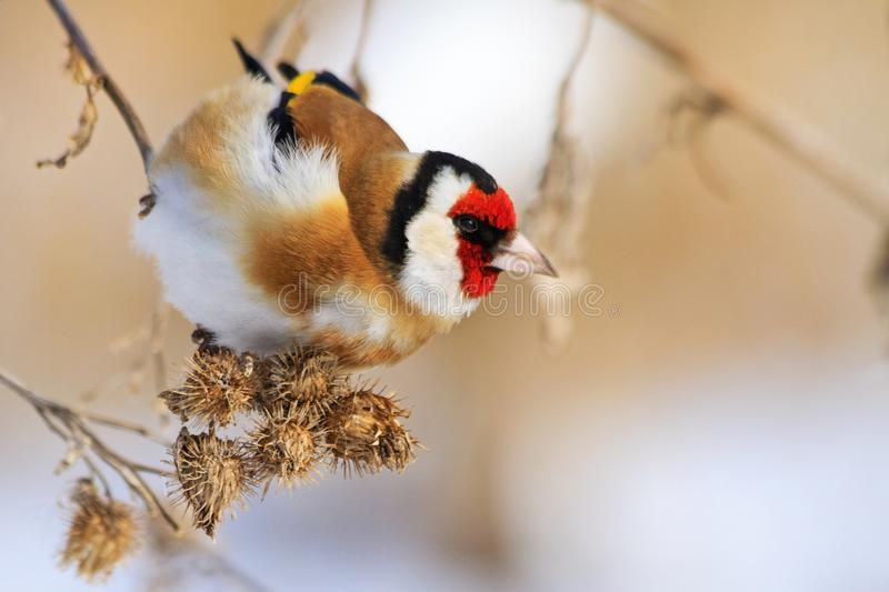 Goldfinch eat burdock seeds. Wildlife, winter survival, cold and frost royalty free stock photo