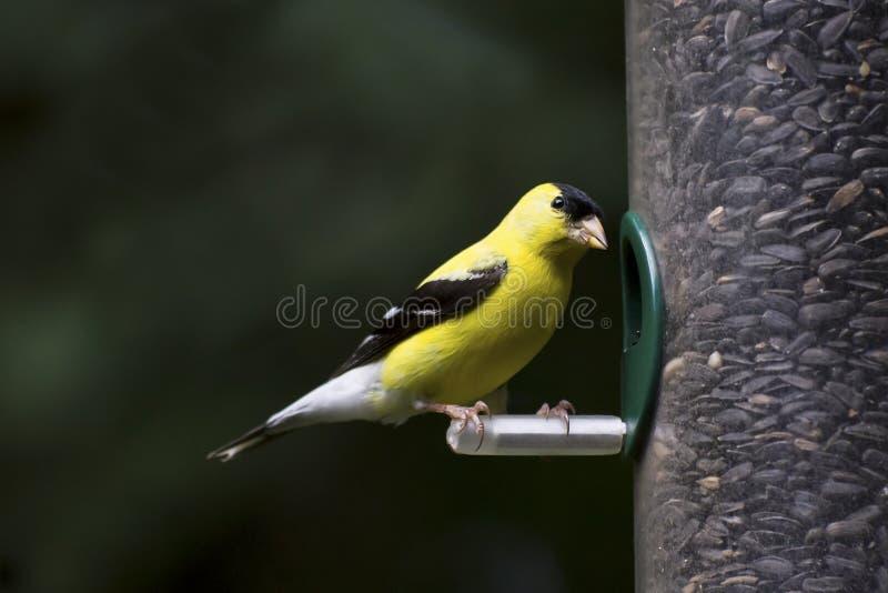 Goldfinch en el alimentador imagenes de archivo