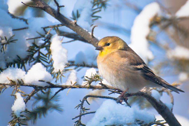 Goldfinch en invierno fotos de archivo