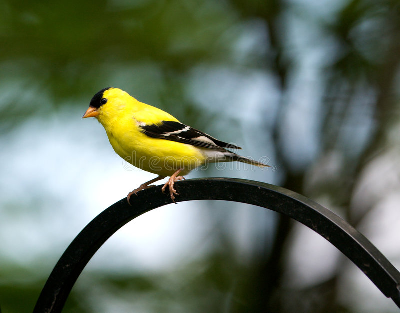 Goldfinch en resorte imagen de archivo libre de regalías