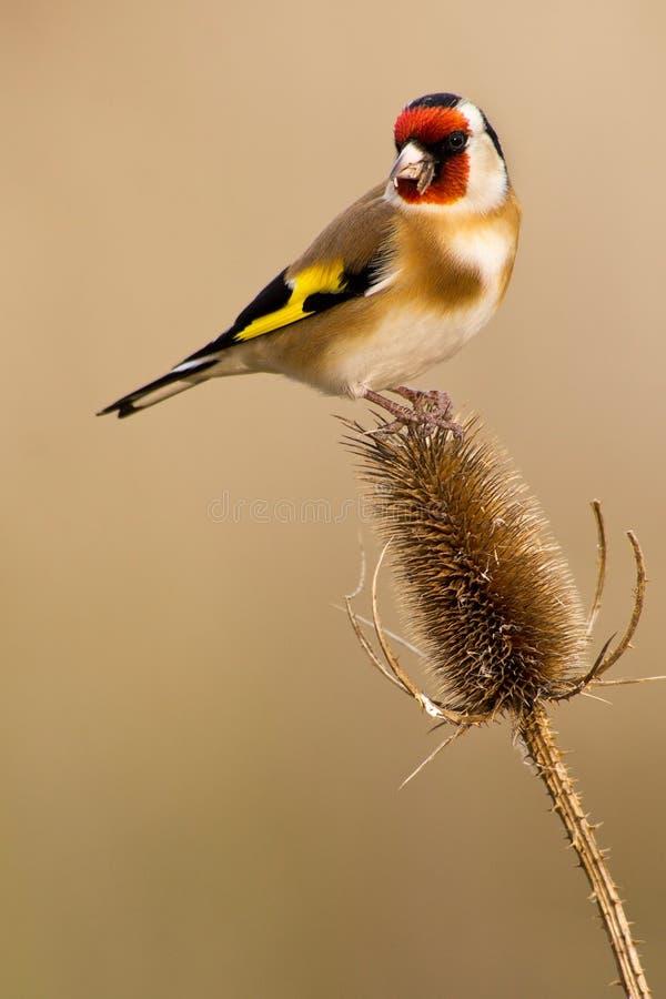 Goldfinch europeo imagen de archivo