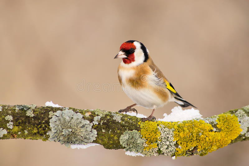 Goldfinch europeo immagini stock