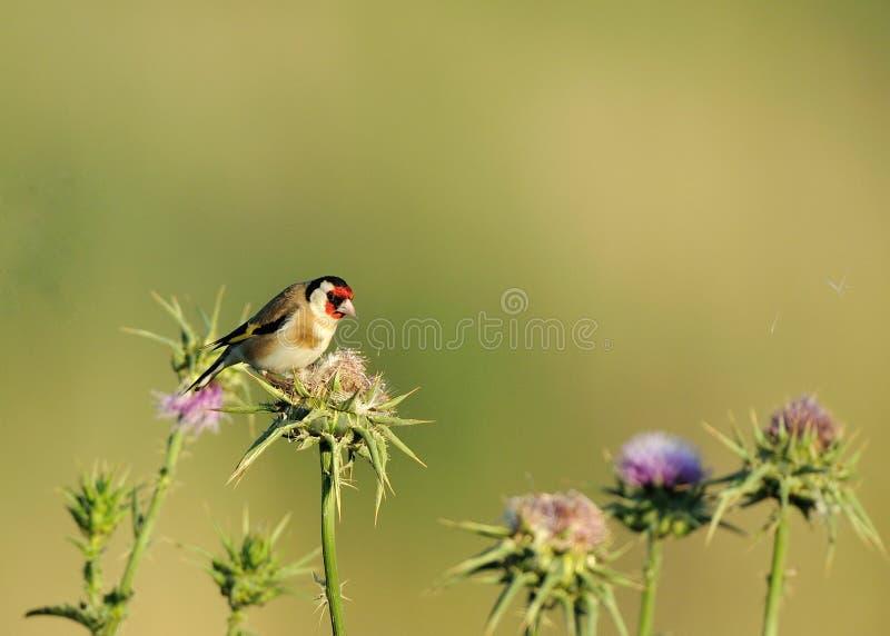 Goldfinch europeo immagini stock