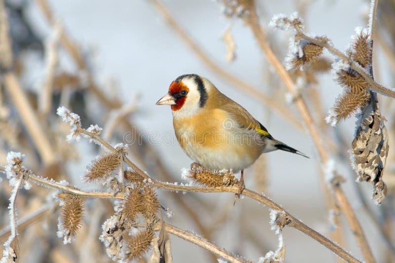 Goldfinch europeo (carduelis del Carduelis) imagen de archivo libre de regalías