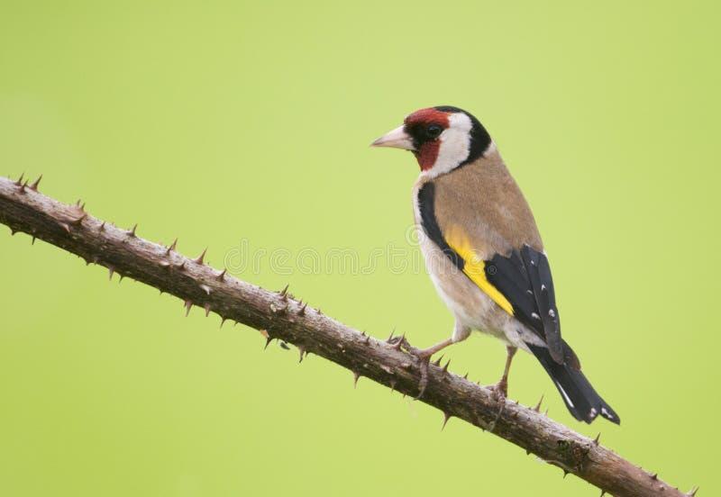 Goldfinch europeo (carduelis del Carduelis) fotografía de archivo libre de regalías