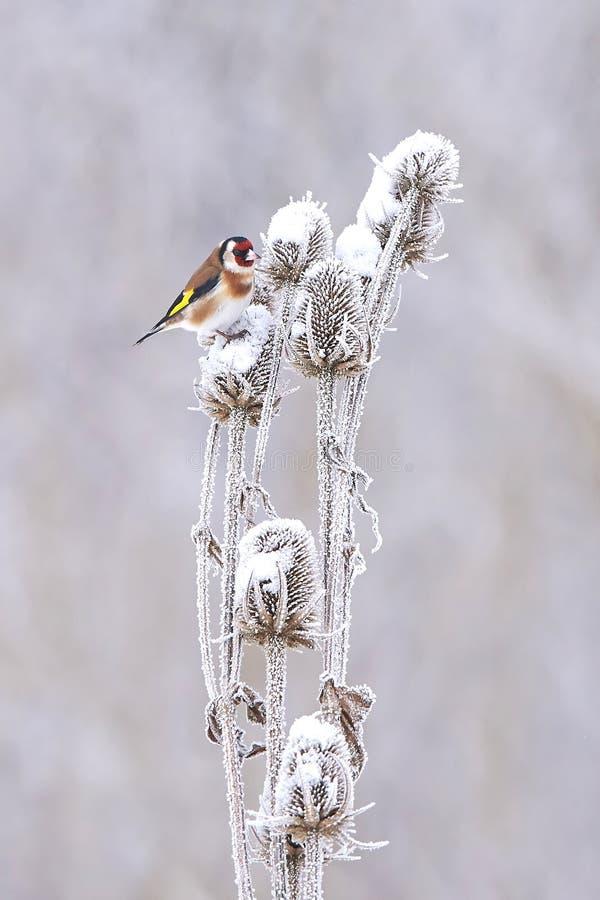Goldfinch europeo (carduelis del Carduelis) fotografía de archivo
