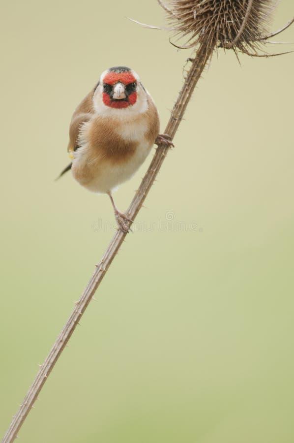Goldfinch europeo (carduelis del Carduelis) foto de archivo libre de regalías