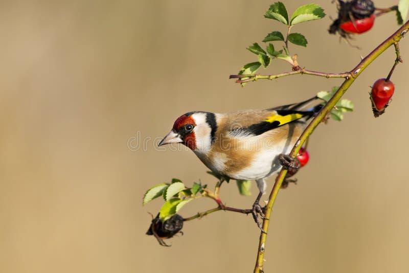 Goldfinch europeu imagem de stock royalty free
