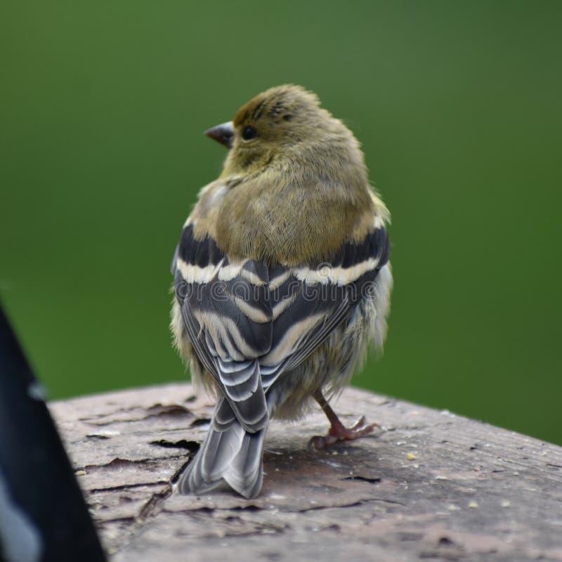 Goldfinch f?mea fotografia de stock royalty free