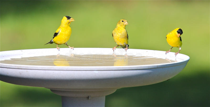 Goldfinch Family Drinking Water at a Bird Bath. Bright yellow American Goldfinch (Carduelis tristis), also known as wild canary, lined up on the edge of a bird