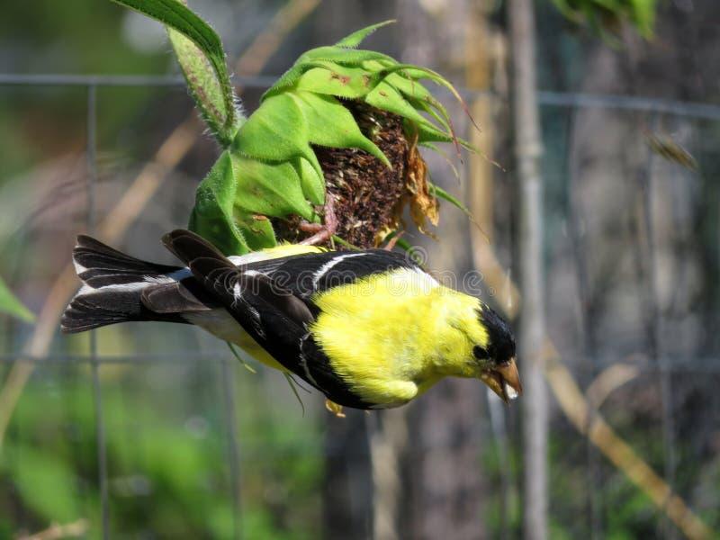 Goldfinch Feeds on Nectar obraz stock