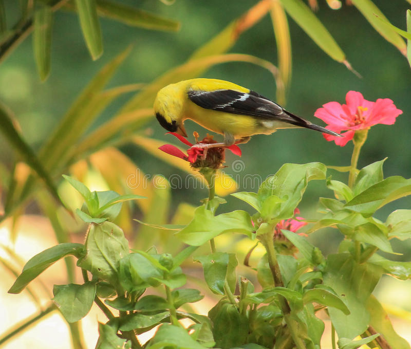 Goldfinch-flower 2 stock photo