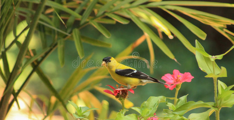 Goldfinch-flower royalty free stock images