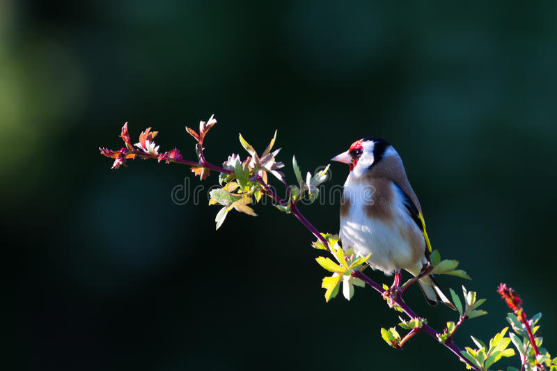 Goldfinch (Fringillidae de Carduelis) photos libres de droits
