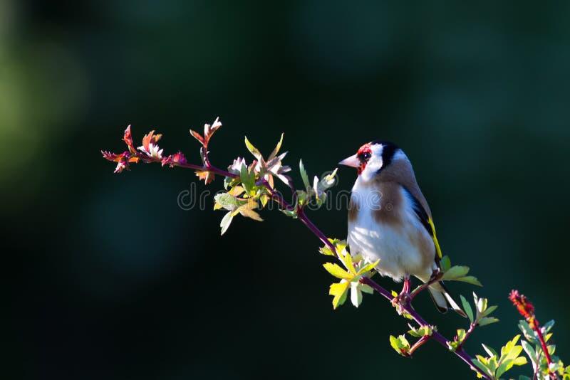 Goldfinch (Fringillidae del Carduelis) fotos de archivo libres de regalías