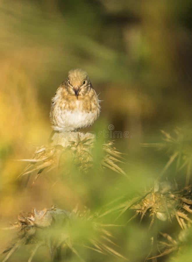 Goldfinch Juvenil на заводах Thistle стоковые изображения rf