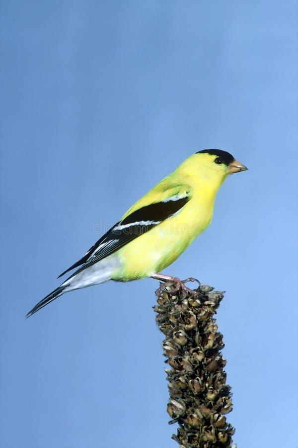 Goldfinch masculino fotos de stock