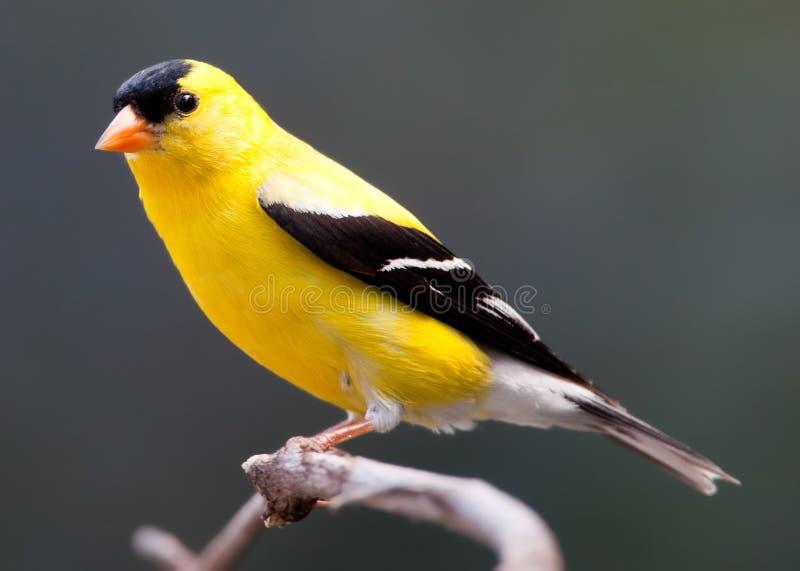 Goldfinch masculino encaramado foto de archivo libre de regalías