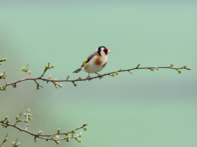 Goldfinch minúsculo foto de archivo libre de regalías