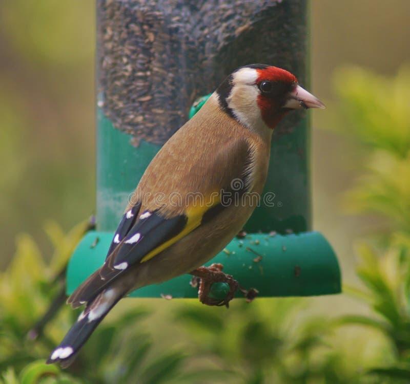 Goldfinch no alimentador imagem de stock