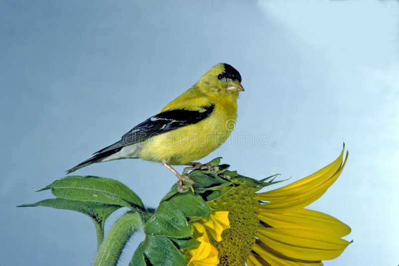 Goldfinch no girassol fotos de stock