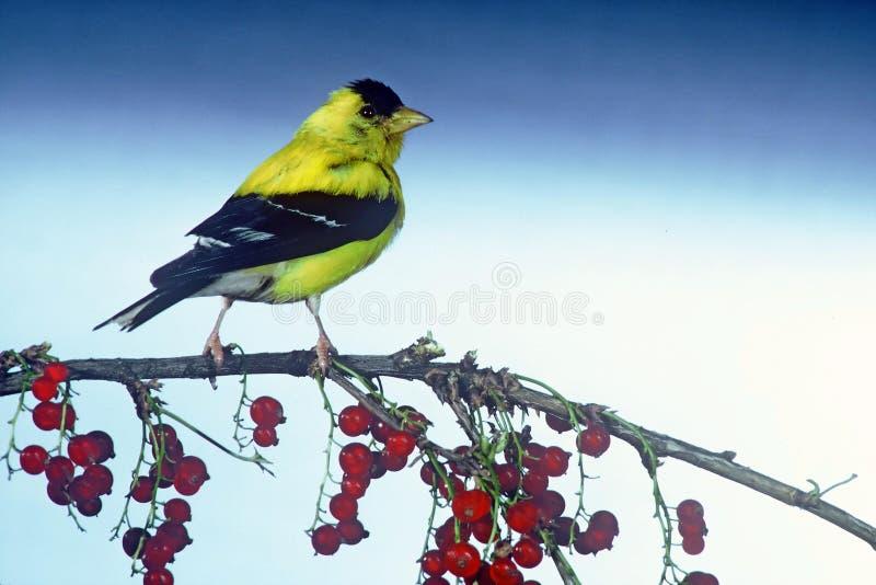 Goldfinch nord-américain mâle photo libre de droits