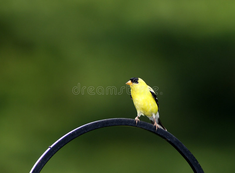 Goldfinch oriental images stock