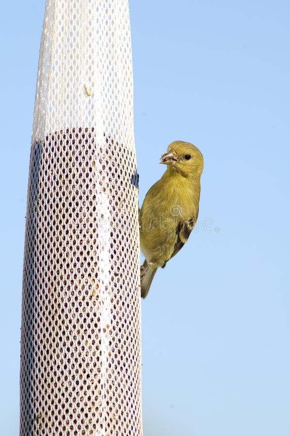 Download Goldfinch Perched On A Bag Royalty Free Stock Images - Image: 15639459