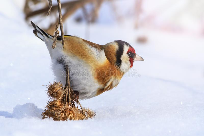 Goldfinch pressed the snow of woolly burdock seeds. Wildlife, winter survival, cold and frost stock photography